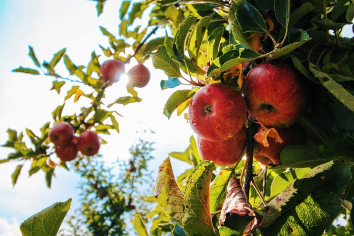 Apples KreedOn Healthy Foods to lose weigh